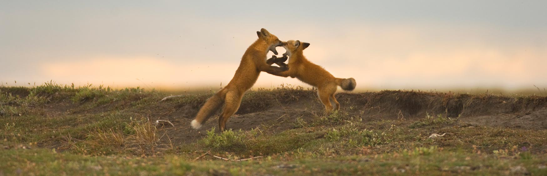 Canning River trips ANWR Arctic National Wildlife Refuge red foxes Alaska.