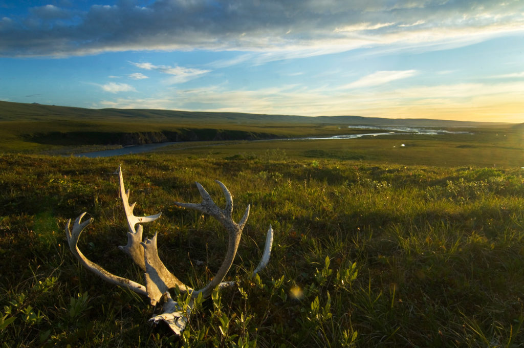 Midnight sun on caribou antlers Arctic National Wildlife Refuge Canning River rafting trip, Alaska.