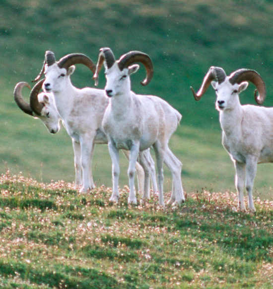 Dall sheep rams in Wrangell St. Elias Park