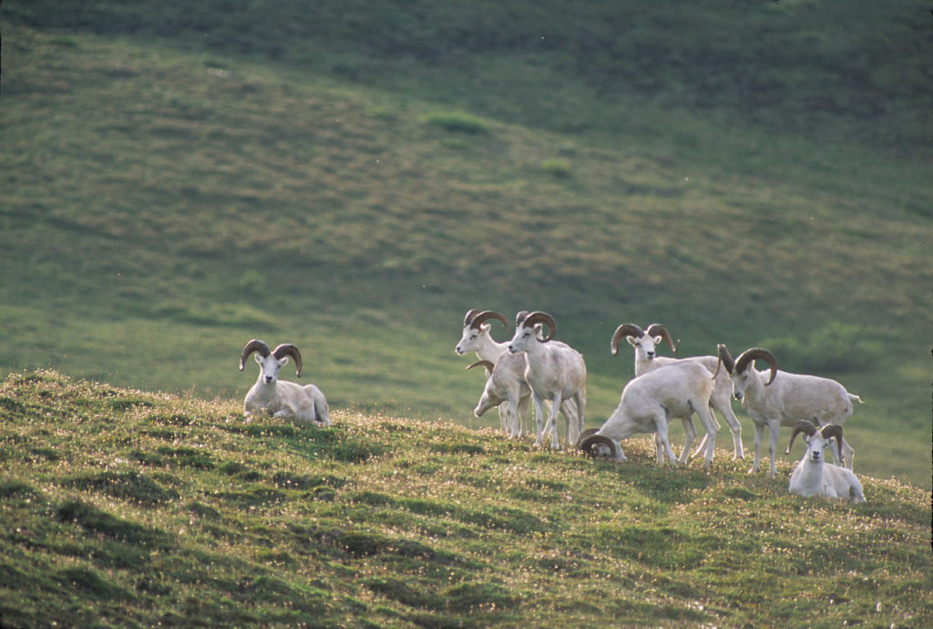 Dall sheep rams.