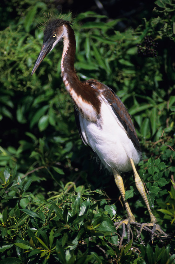 Funny photo of a Juvenile tricolor heron