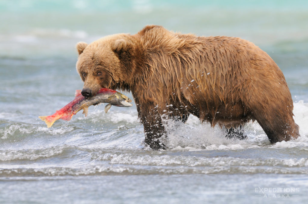 Alaska grizzly bear photo tours grizzly bear with salmon.