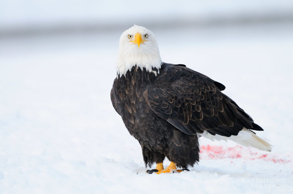 Haines, Alaska mature bald eagle standing on snow. Chilkat River.
