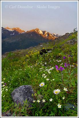 Wildflowers in bloom in the Chugach Mountains, Wrangell St. Elias National Park, Alaska.