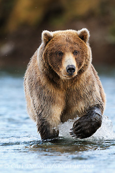 A male brown bear, Ursus arctos, approaches up river, fishing for spawning sockeye salmon, Katmai National Park and Preserve, Alaska.