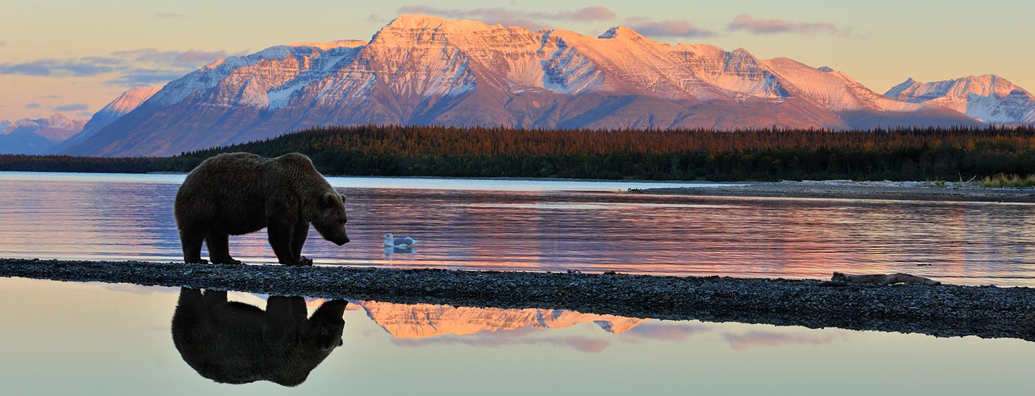 Katmai National Park brown bear and reflection Katolinat Mountain, Alaska.
