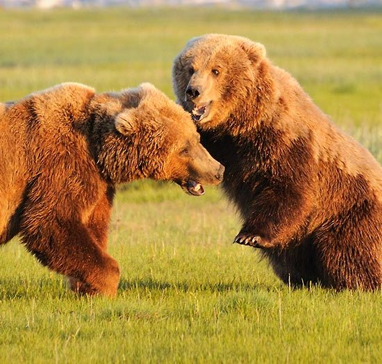 Grizzly bear Alaska photo tours Katmai National Park.