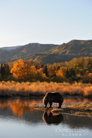 A young grizzly bear, or brown bear, takes a drink early in the morning, fall (autumn) (Ursus arctos) Katmai National Park and Preserve, Alaska.
