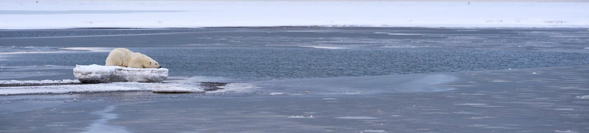 Polar bear resting on ice, ANWR, Alaska.