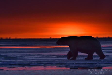A large male polar bear walks across the ice of the frozen Beaufort Sea in Alaska's Arctic National Wildlife Refuge.
