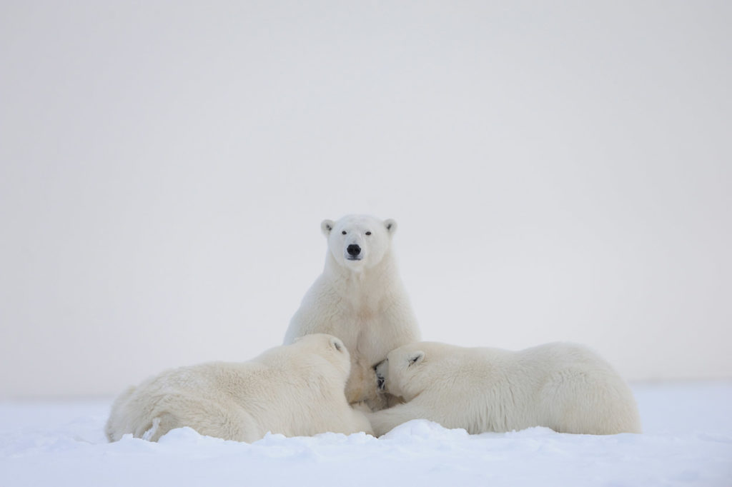 Polar bear sow nursing cubs.