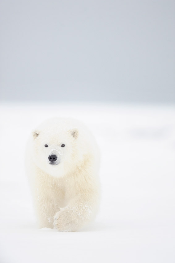 Cautious approach of a young polar bear cub.