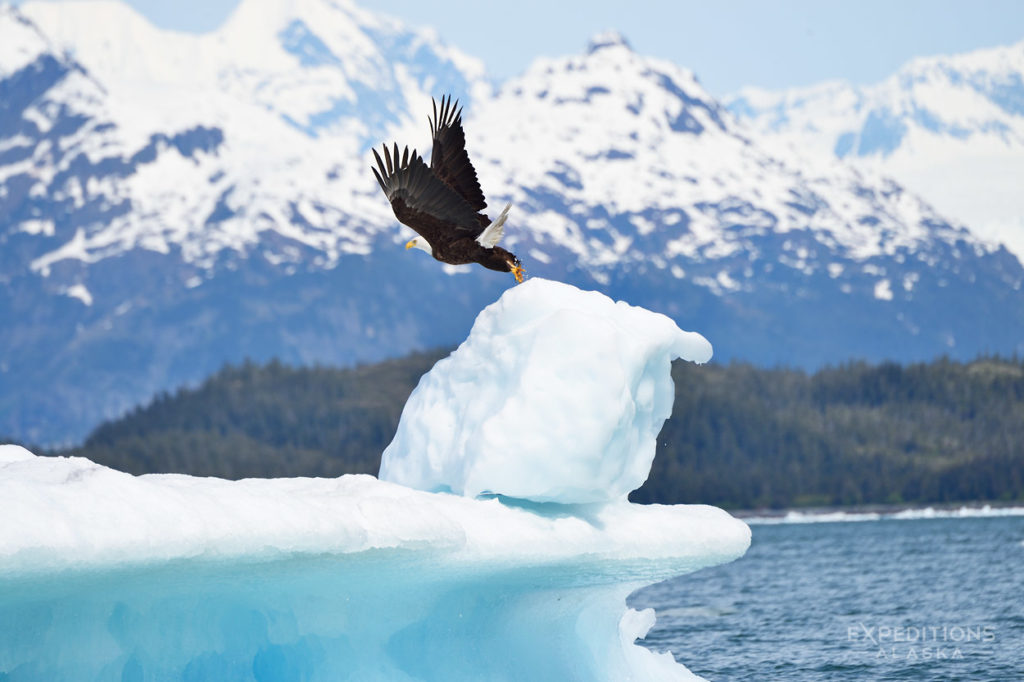Adult bald eagle taking flight from iceberg Prince William Sound, Alaska.