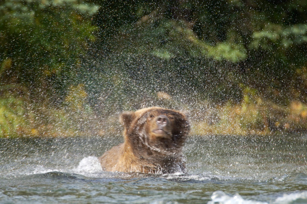Alaska grizzly bear photos bear shaking water Katmai Park.