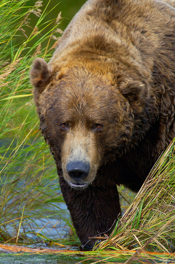 Grizzly bear photos adult male brown bear Katmai National Park.