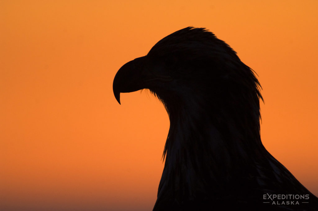 Juvenile bald eagle silhouette photo, Homer, Alaska.