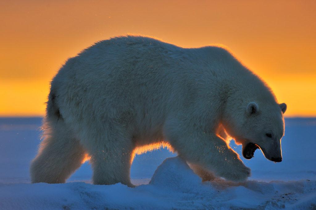 Alaska polar bear photo tours Polar bear silhouetted against sunrise sky, Arctic National Wildlife Refuge, Alaska.