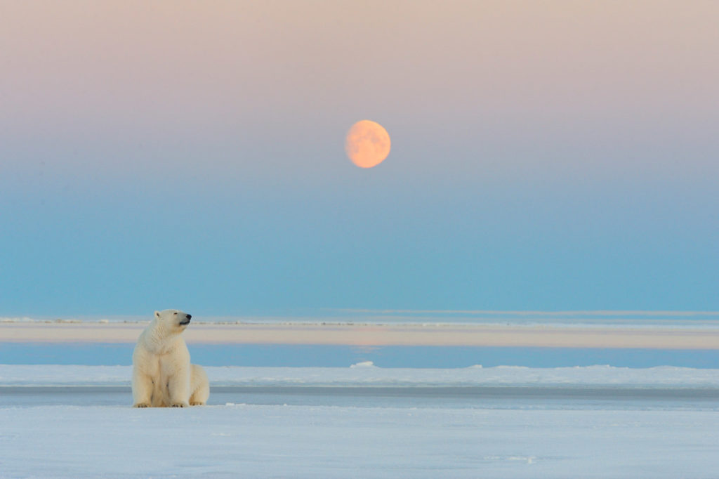 Polar bear photo tours A polar bear watches moonrise on our Alaska polar bear photo tour, Alaska.