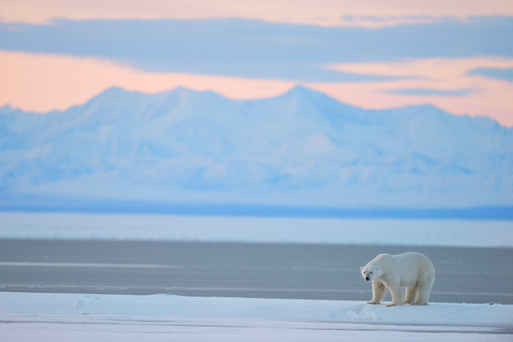 Alaska polar bear photo tour with male polar bear and brooks Range mountains, ANWR, Alaska