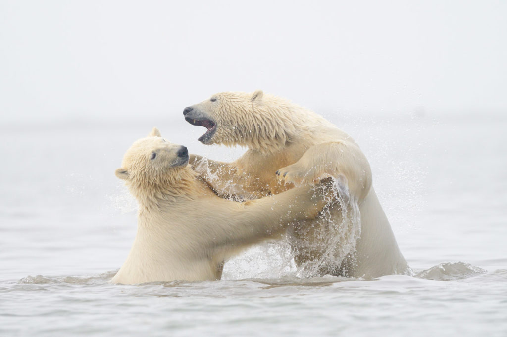 Polar bear photo tour Two young polar bears wrestling in the water, Arctic ocean, ANWR, Alaska.