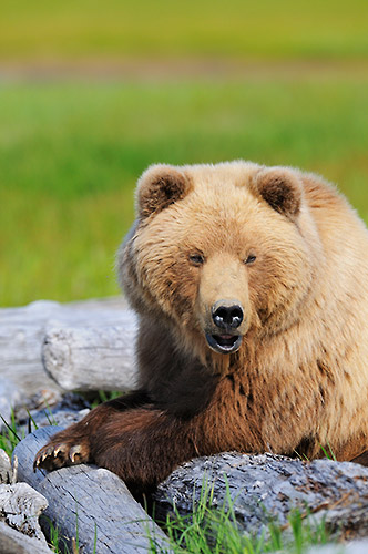 Alaska photo tour Coastal brown bear photo tour Katmai National Park, Alaska.