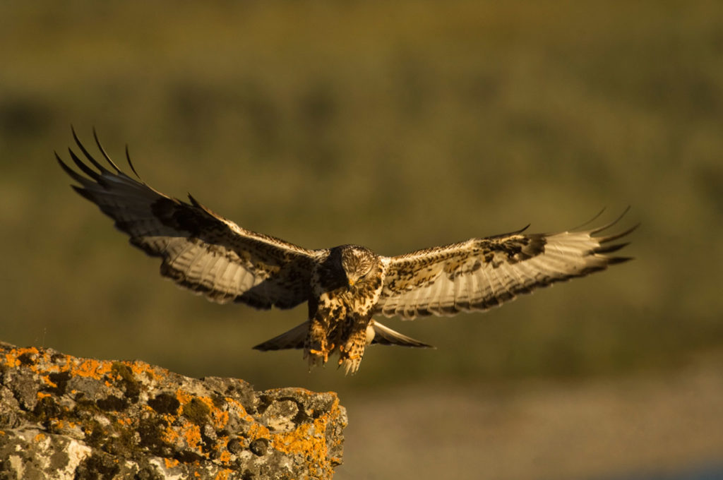 Rough-legged hawk in flight, ANWR trip photos, Arctic National Wildlife Refuge, Alaska.