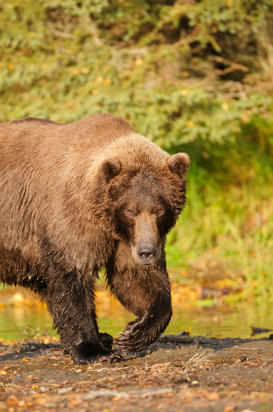 Alaska bears photo tours grizzly bear male Katmai National Park Alaska.