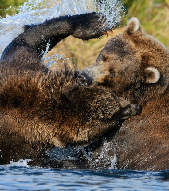 Alaska grizzly bears photo tours 2 young grizzly bears fighting in a salmon stream. (Ursus arctos) Katmai National Park and Preserve, Alaska.