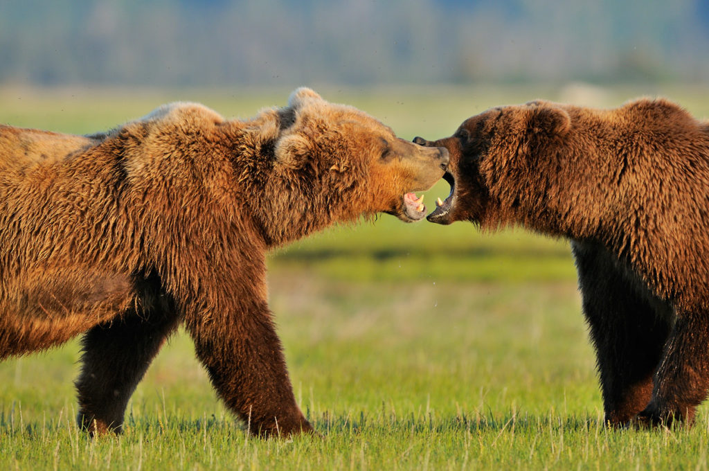 Alaska brown bear photo tour bears playing Katmai National Park Alaska.