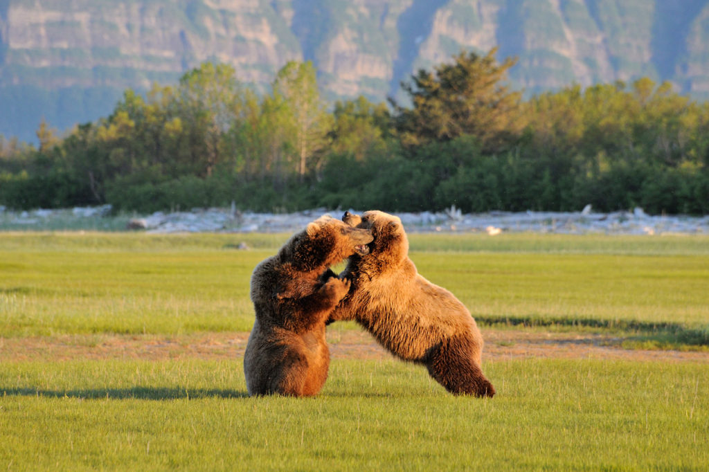 Brown bear photo tour bears wrestling Katmai National Park, Alaska.