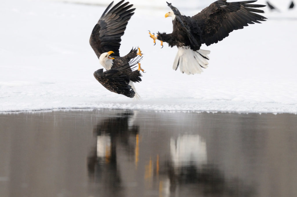 Chilkat River Bald eagles photo tour reflection of bald eagles fighting.