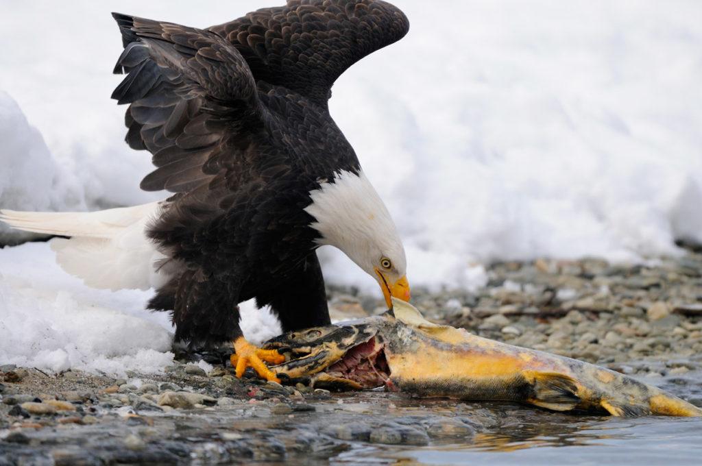 Haines Bald eagles photo tour eagle eating salmon.
