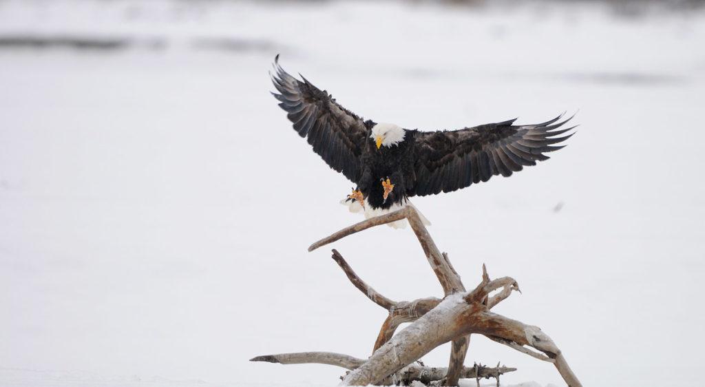 Bald eagles photo tour landing on a perch.