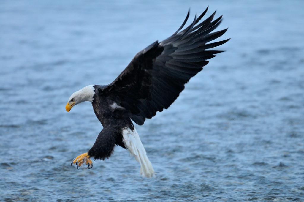 Eagle photo tour fishing for salmon.