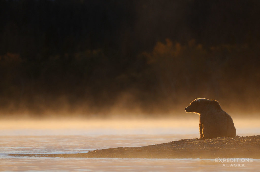 Grizzly bear photo tours Alaska backlit morning grizzly bear Katmai National Park.
