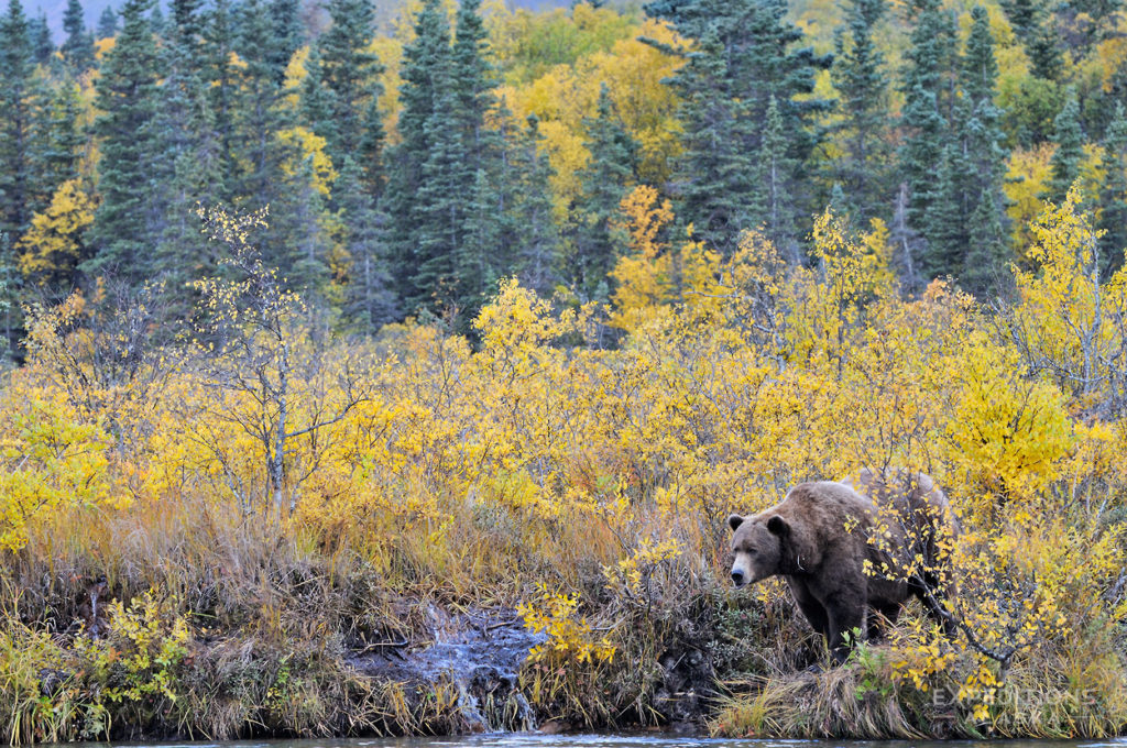Alask bears photo tours grizzly bear fall colors forest Katmai National Park.