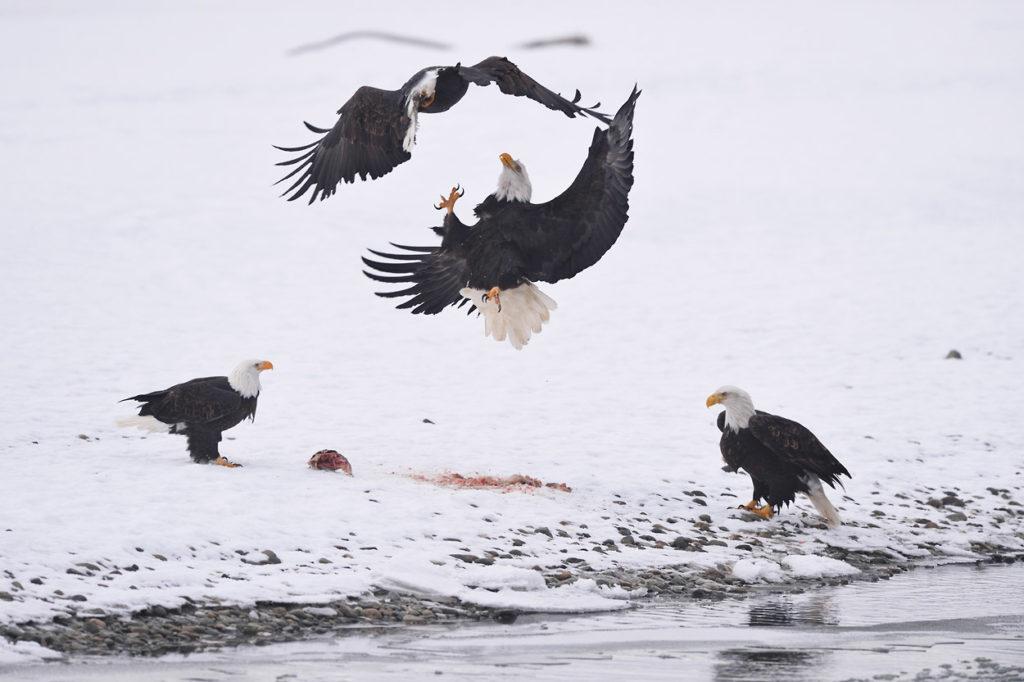 Bald eagle phototour eagles fighting.