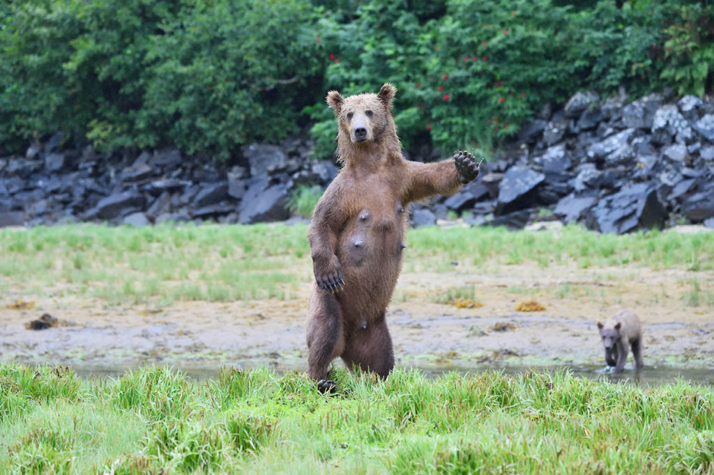 Alaska coastal wildlife photo tour brown bear sow standing upright.