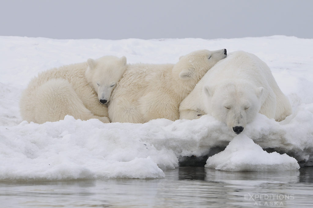 Alaska polar bear photo ebook.