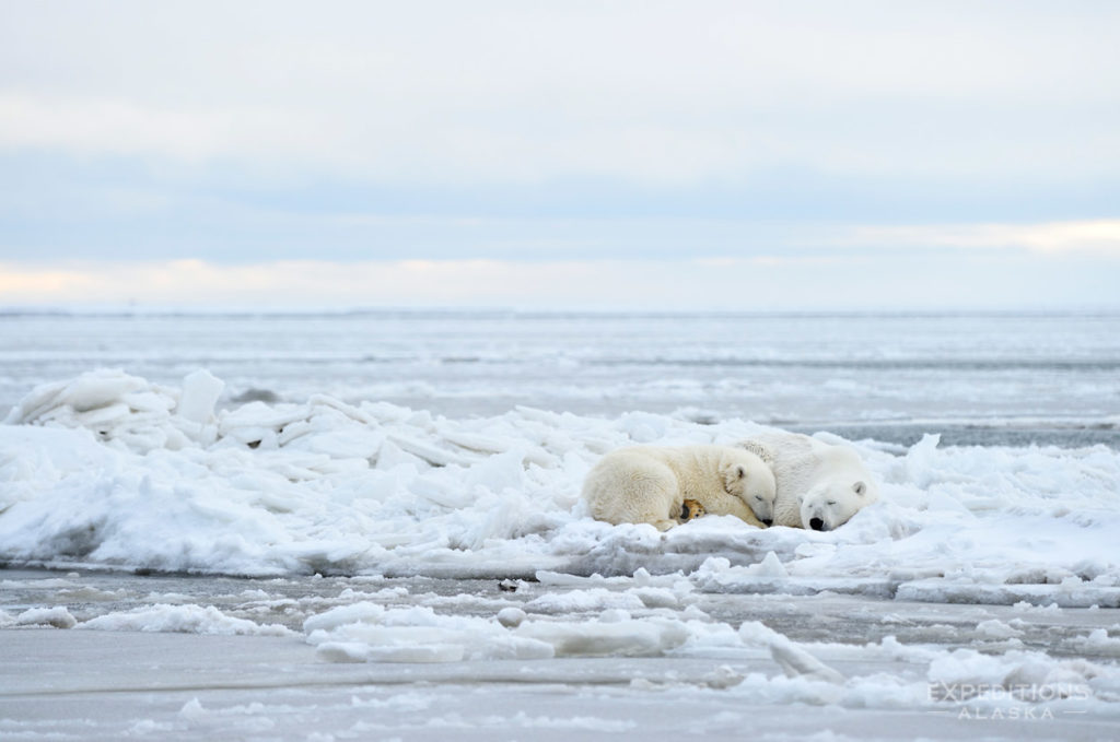Polar bear sow and cub on ice Beaufort sea Arctic National Wildlife Refuge photo Alaska.