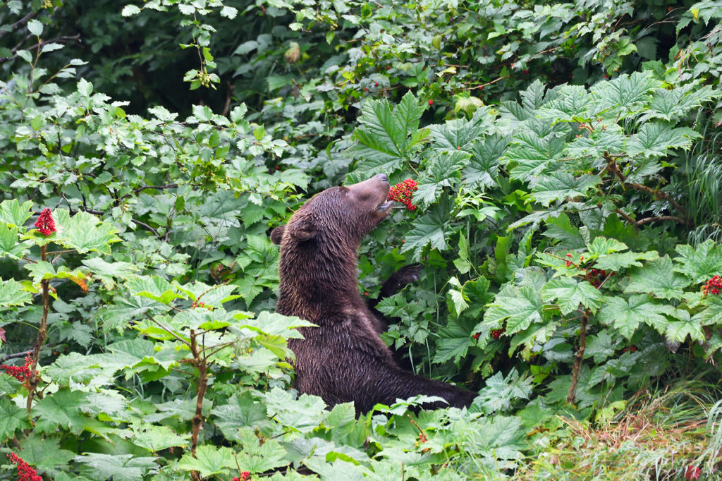 Brown bear eating Devil's Club berries, Katmai National Park, Alaska.