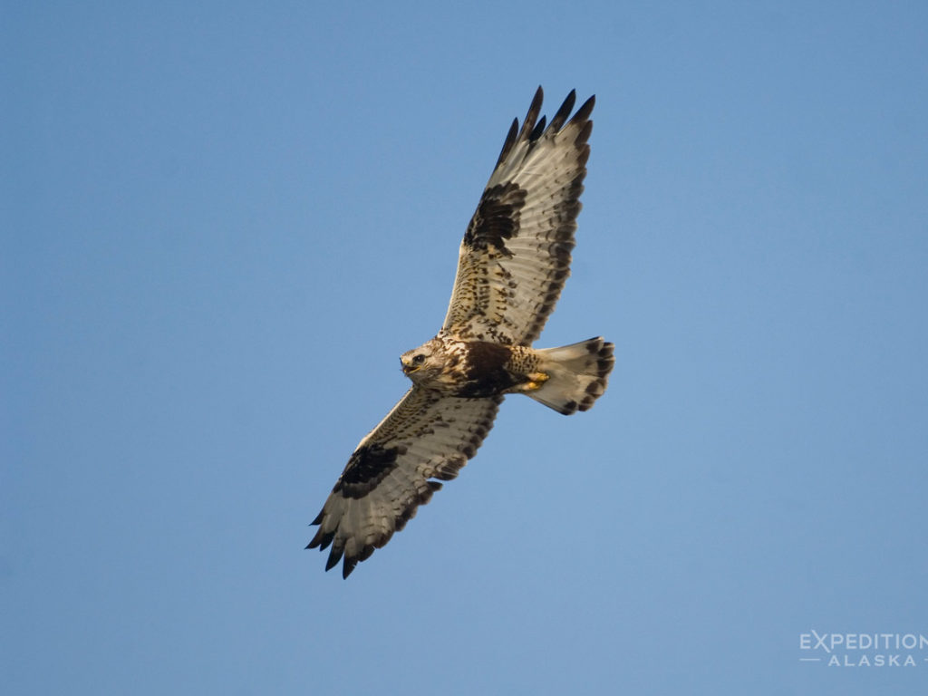 ANWR photo of Rough Legged Hawk Arctic National Wildlife Refuge Alaska.