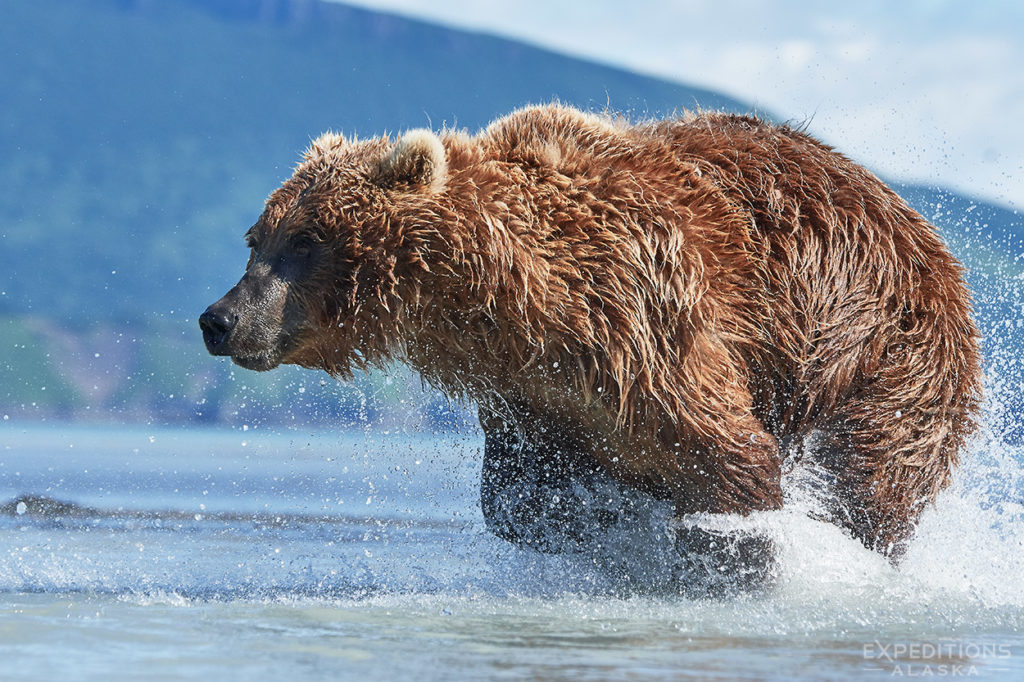 Excitement on the Coast as a brown bear hits top speed chasing salmon through the shallows. Alaska.
