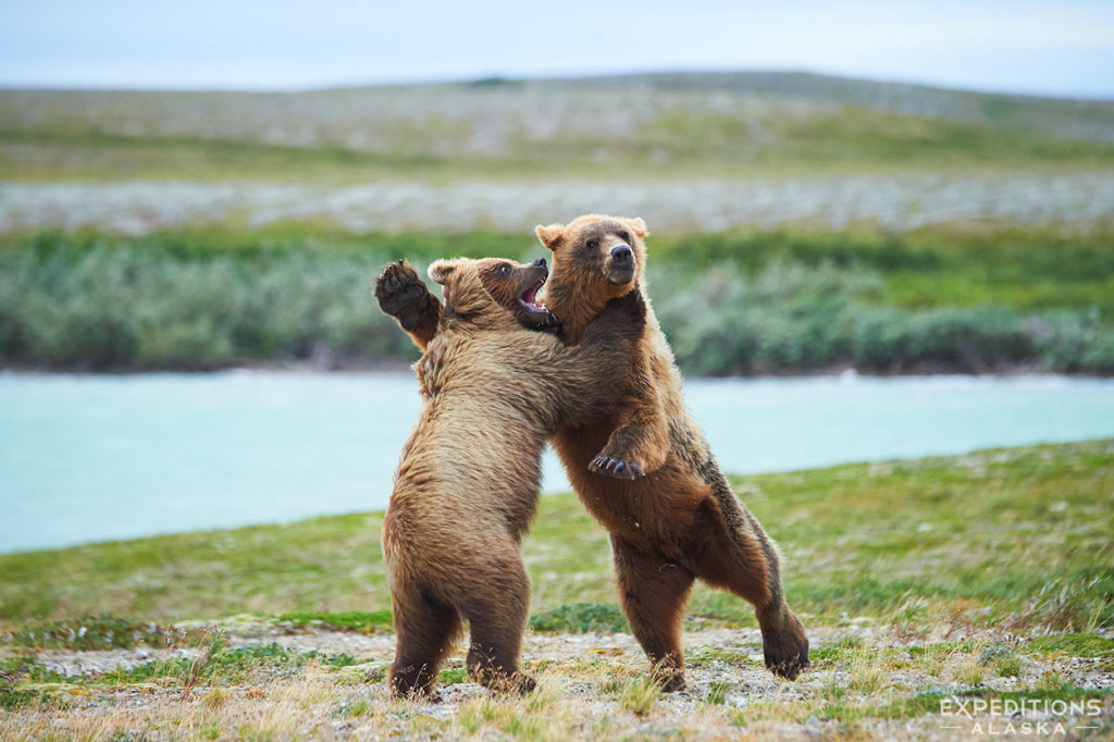 Two young brown bear cubs playing on the tundra, Katmai National Park, Alaska.