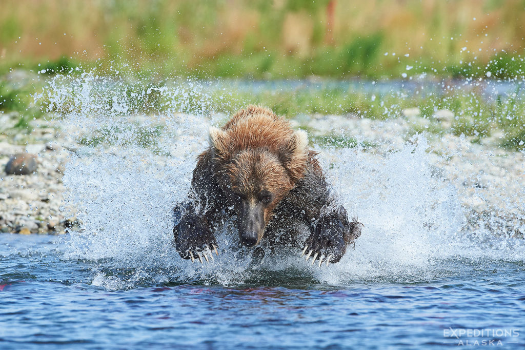 Young brown bear chasing salmon.
