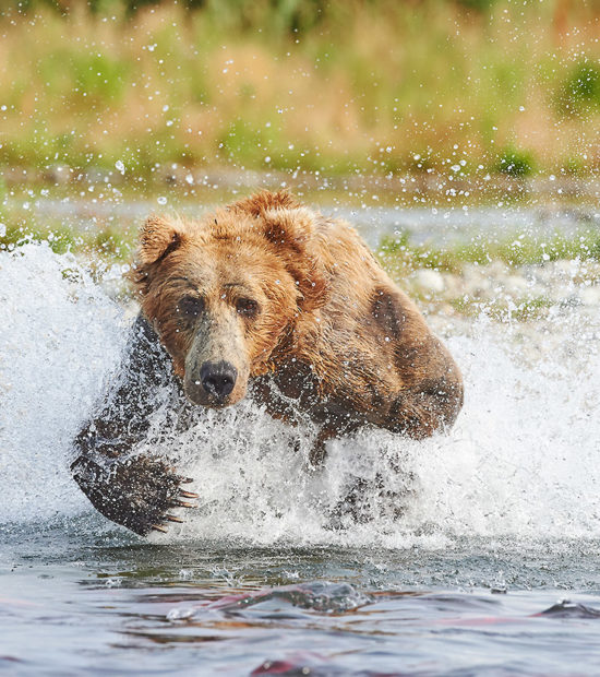 Male brown bear chasing salmon Katmai Park, Alaska.