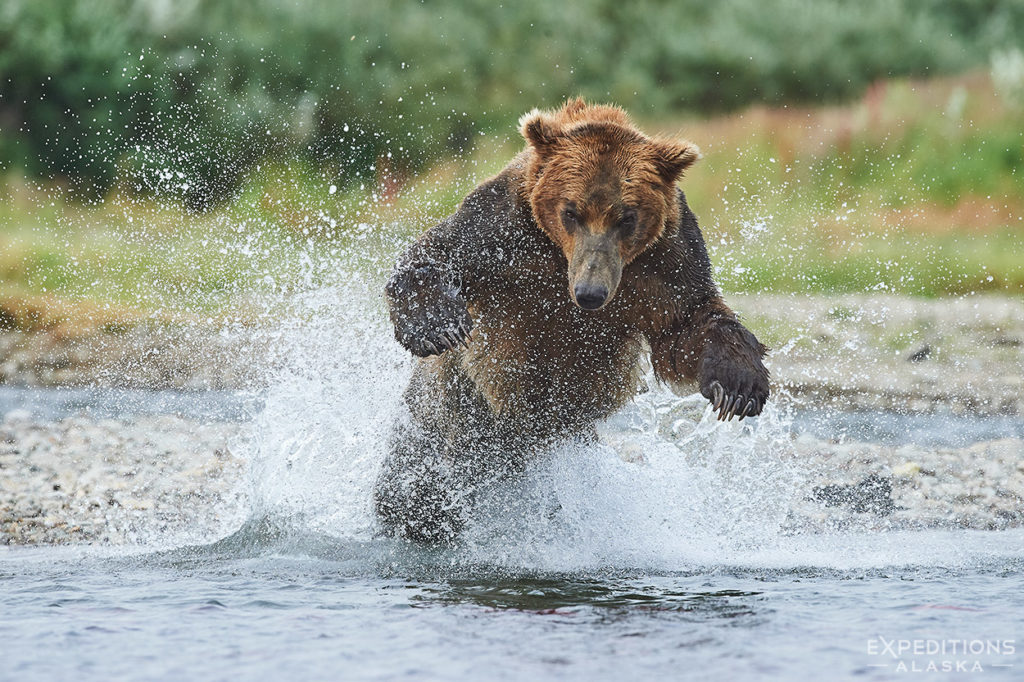 Male bear fishing.
