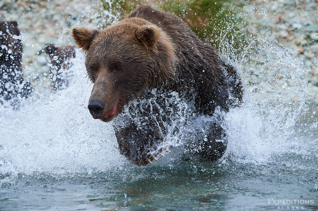 brown bear mother chasing salmon, Katmai National Park